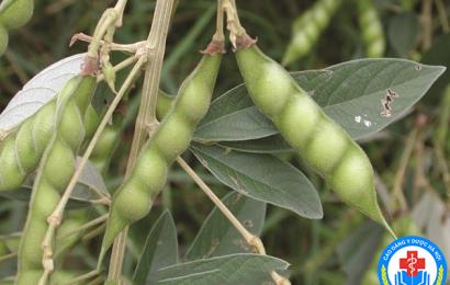 Cây dược liệu quý – Cây đậu săng